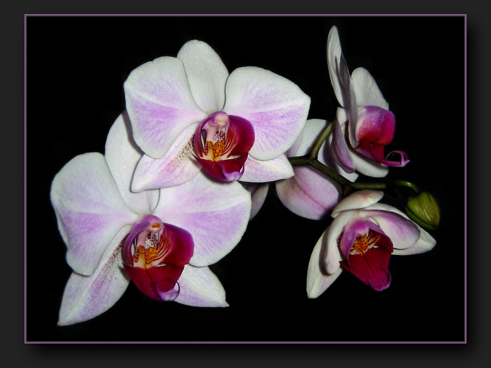 My luxury orchid