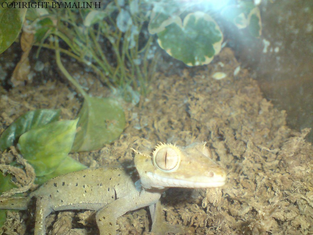 My Moms Gecko