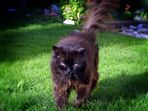 my old wild tom cat 'fury' † RIP 2011