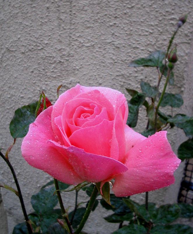 My pink rose.