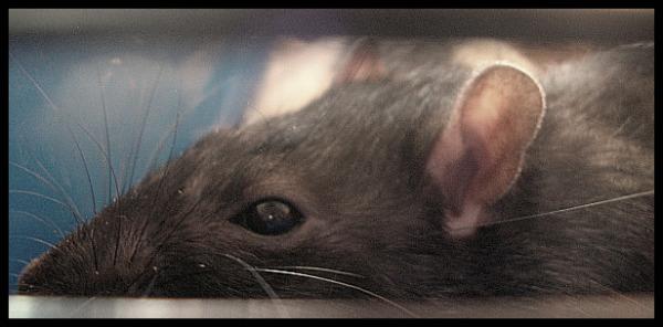 My rat :]