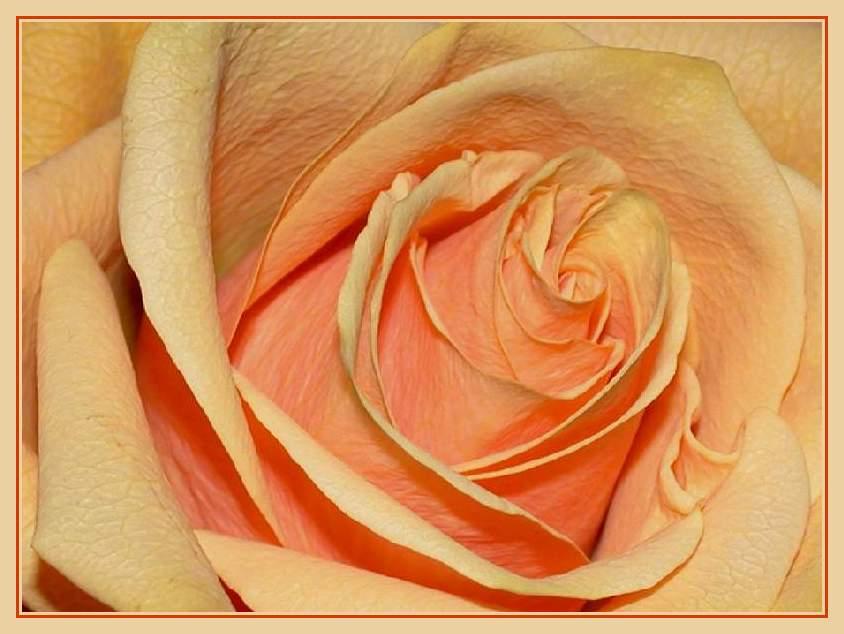 my rose #2