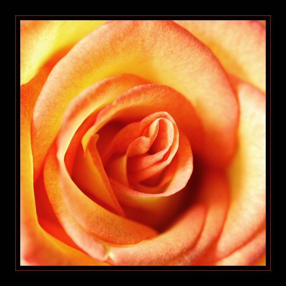 My Rose III