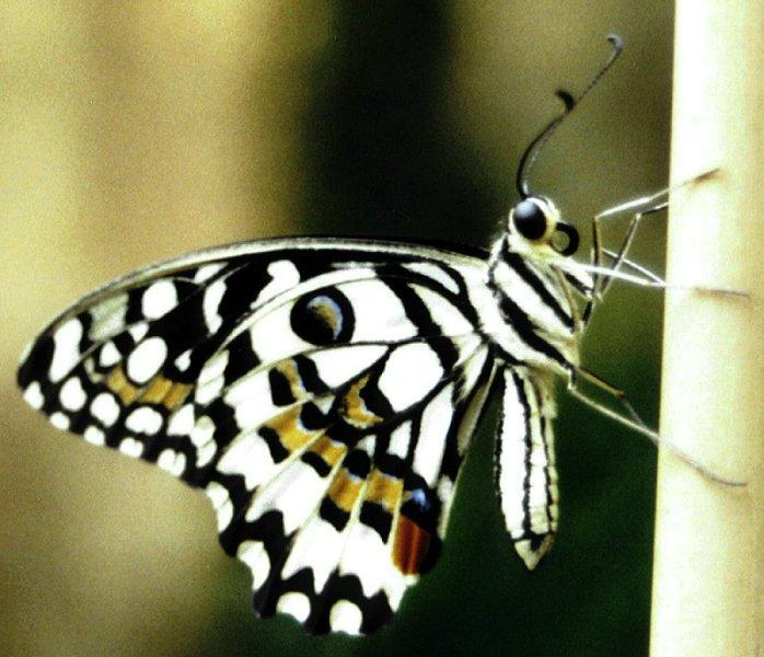 my sweet butterfly