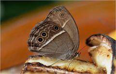 Mycalesis mineus