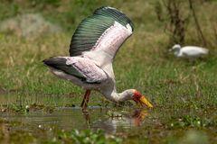 ***  Mycteria ibis   ***