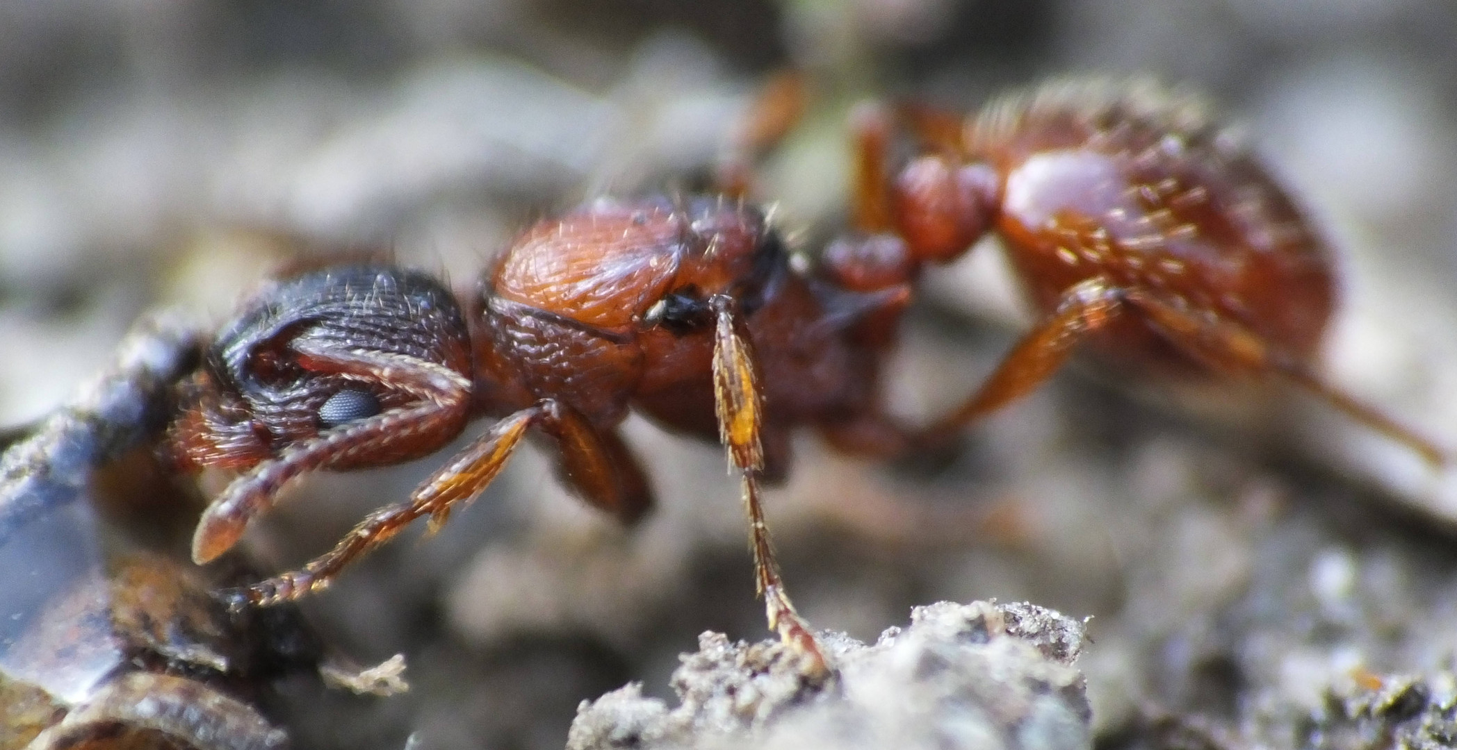 Myrmica spec. macro
