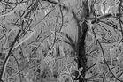 Mystic Ice Tree (B/W)