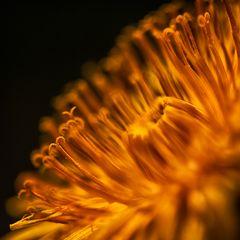 Mystical Dandelion