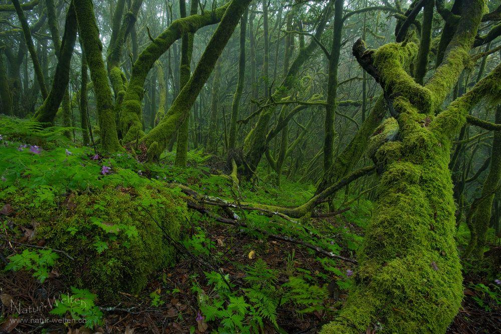 Mystischer Nebelwald von Garajonay