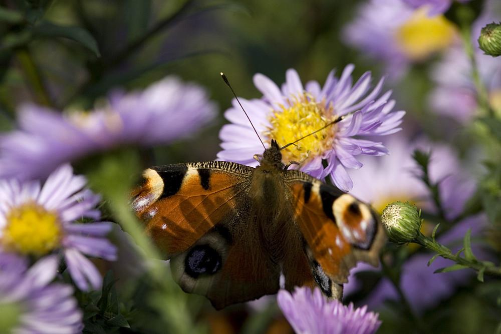 n Schmetterling eben