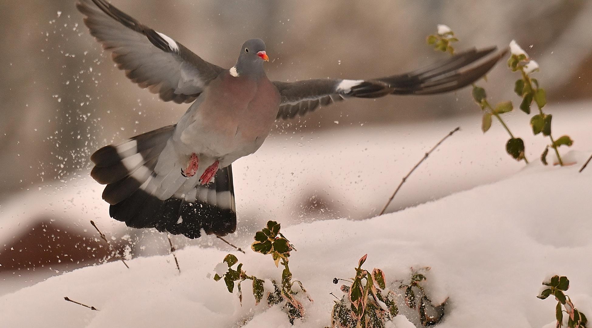 --n  u  r   eine Taube im Garten!