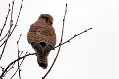 Na... gefällt dir das Wetter auch nicht....?  Turmfalke(Falco tinnunculus)