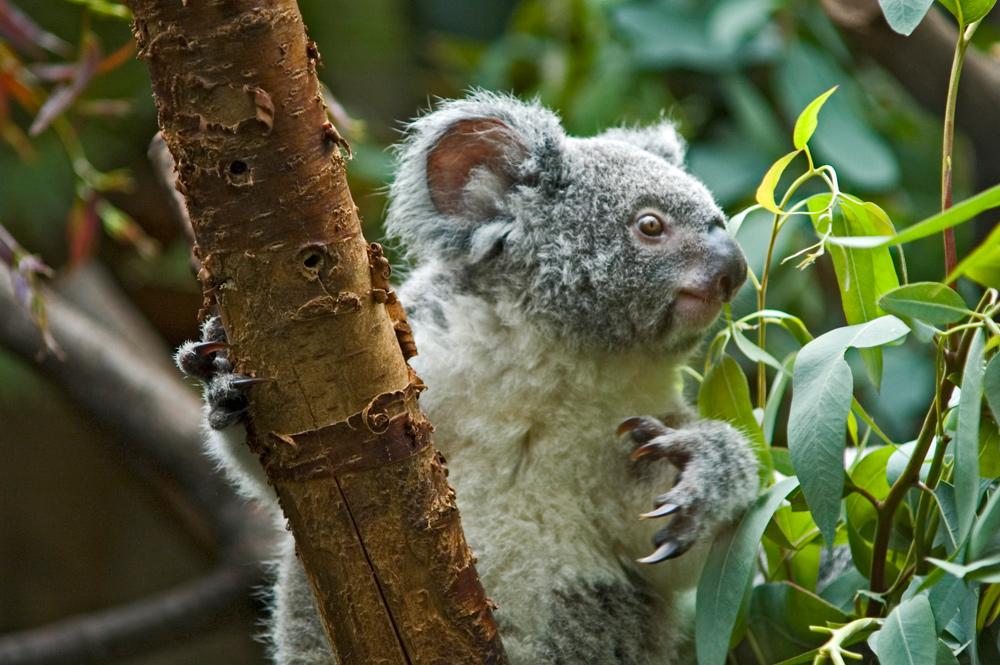 Na, was wollt Ihr von mir? - fragt wohl der kleine Koalabär