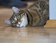 Nabars miau