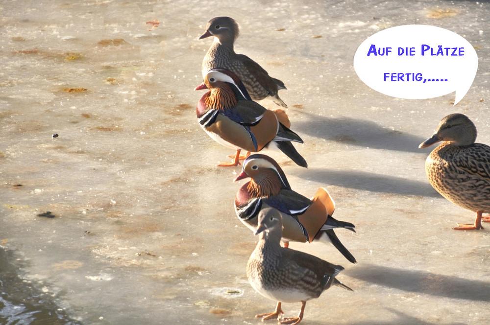 Nach chicken run nun auch noch duck run