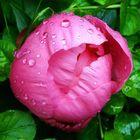 Nach dem Regen (Pfingstrose aus unserem Garten)