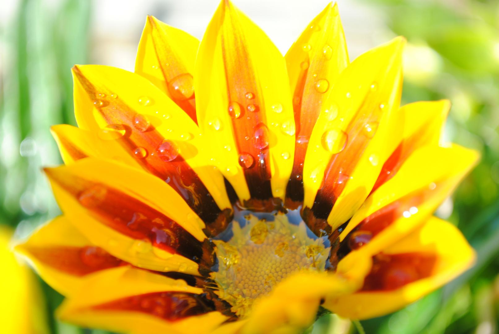 Nach dem Regen, scheint die Blüte.