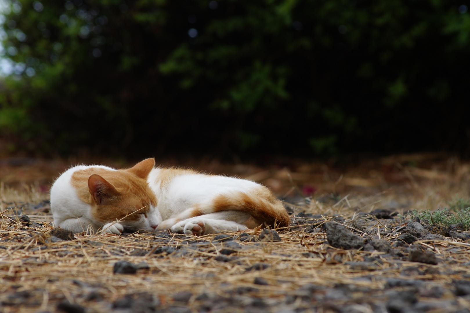 Nach der Jagd will der Tiger ruhen