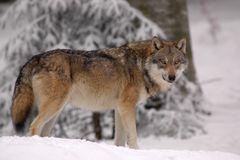 Nach und nach kehrt der Wolf in unsere Wälder zurück