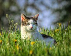 Nachbarns-Katze