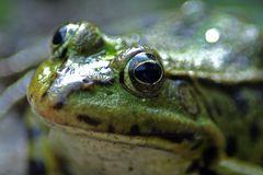 Nachbars Frosch