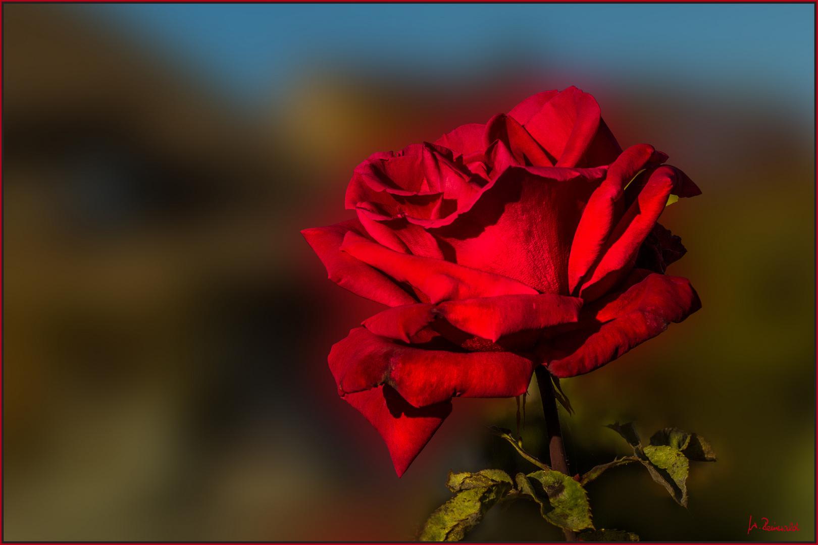 Nachbars letzte Rose