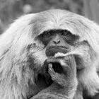 Nachdenkliche Affen I
