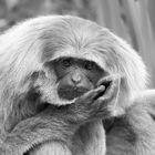 Nachdenkliche Affen II