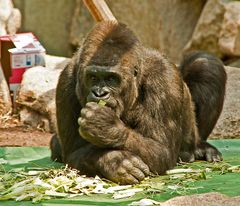 Nachdenklicher Gorilla - Chef
