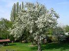 Nachruf auf einen Birnenbaum