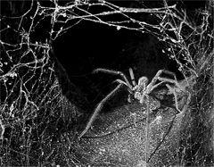Nachtaufnahme,(wildlife), Spinne lauert auf Beute,
