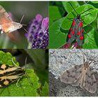 Nachtfalter, die uns auch am Tag erfreuen! (1) - Papillons de nuit qui nous réjouissent le jour!