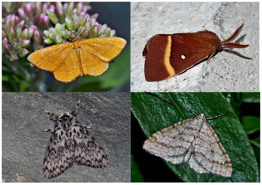 Nachtfalter, die uns auch am Tag erfreuen! (10) - Papillons de nuit qui nous réjouissent le jour!