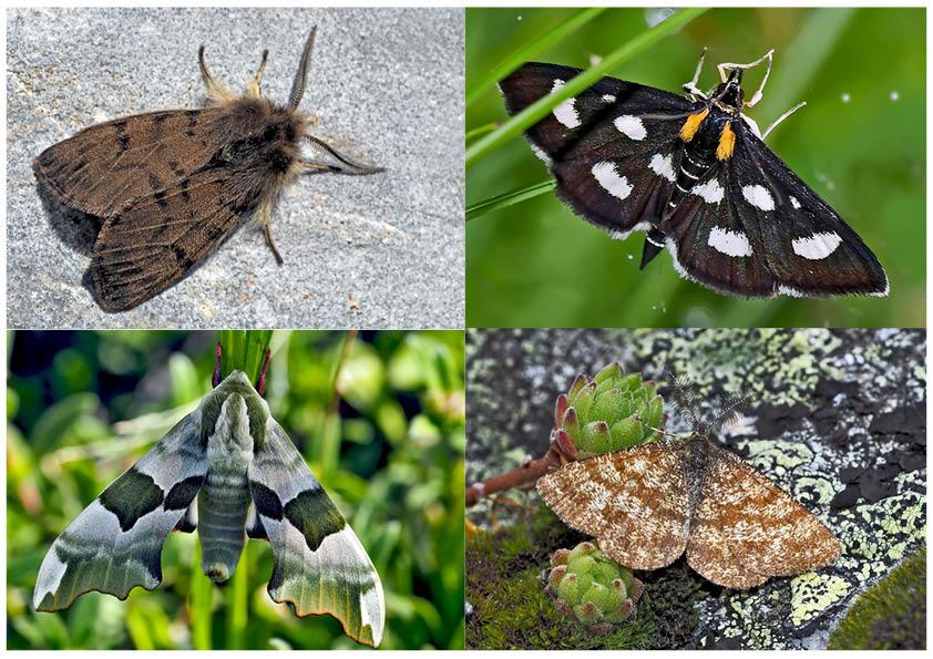 Nachtfalter, die uns auch am Tag erfreuen! (11) - Papillons de nuit qui nous réjouissent le jour!