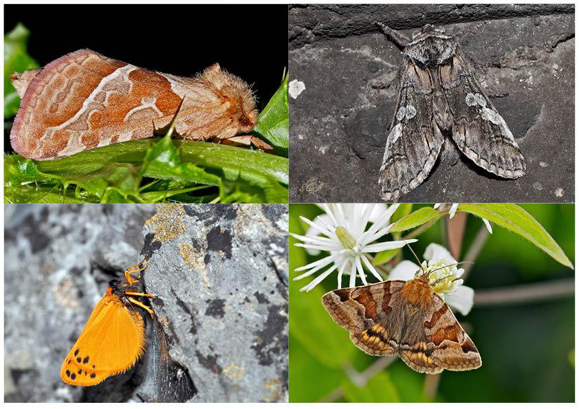 Nachtfalter, die uns auch am Tag erfreuen! (12) - Papillons de nuit qui nous réjouissent le jour!