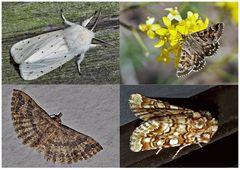 Nachtfalter, die uns auch am Tag erfreuen! (13) - Papillons de nuit qui nous réjouissent le jour!