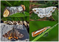 Nachtfalter, die uns auch am Tag erfreuen! (14) - Papillons de nuit qui nous réjouissent le jour!