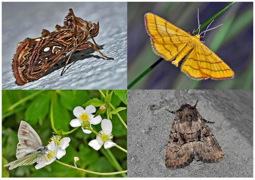Nachtfalter, die uns auch am Tag erfreuen! (15) - Papillons de nuit qui nous réjouissent le jour!