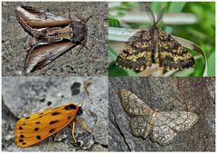 Nachtfalter, die uns auch am Tag erfreuen! (16) - Papillons de nuit qui nous réjouissent le jour!