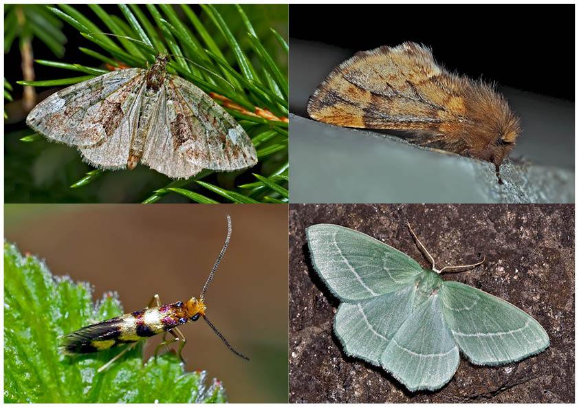 Nachtfalter, die uns auch am Tag erfreuen! (17) - Papillons de nuit qui nous réjouissent le jour!