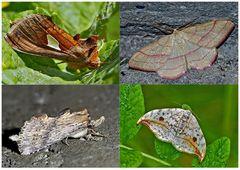 Nachtfalter, die uns auch am Tag erfreuen! (19) - Papillons de nuit qui nous réjouissent le jour!