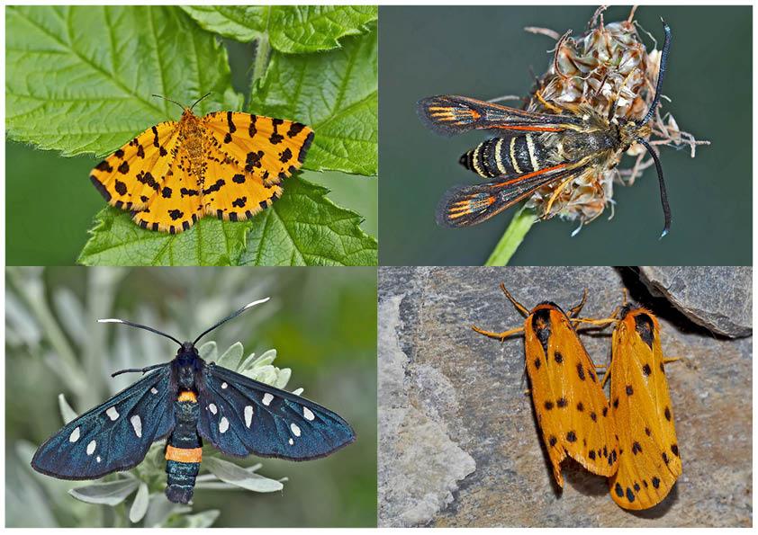 Nachtfalter, die uns auch am Tag erfreuen! (2) - Papillons de nuit qui nous réjouissent le jour!