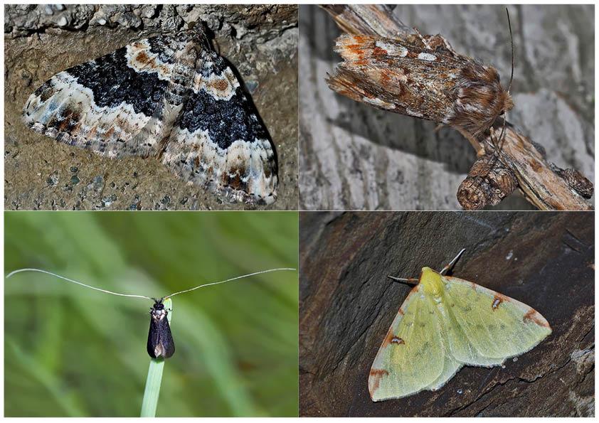 Nachtfalter, die uns auch am Tag erfreuen! (20) - Papillons de nuit qui nous réjouissent le jour!