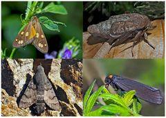 Nachtfalter, die uns auch am Tag erfreuen! (21) - Papillons de nuit qui nous réjouissent le jour!