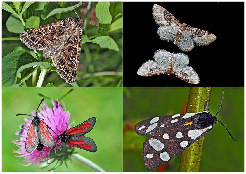Nachtfalter, die uns auch am Tag erfreuen! (22) - Papillons de nuit qui nous réjouissent le jour!