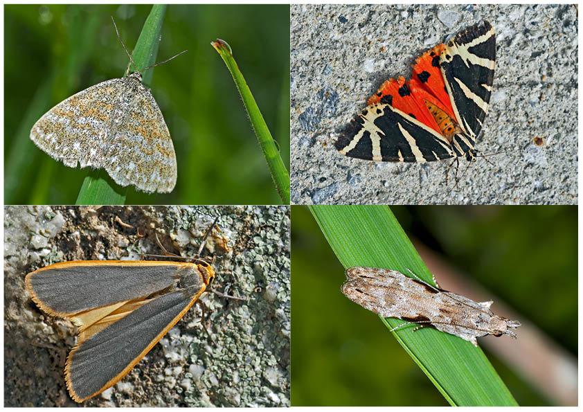 Nachtfalter, die uns auch am Tag erfreuen! (23) - Papillons de nuit qui nous réjouissent le jour!