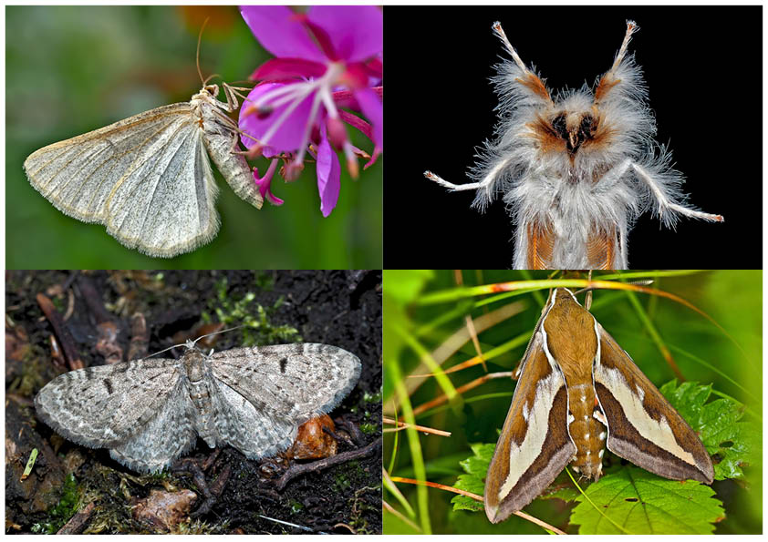 Nachtfalter, die uns auch am Tag erfreuen! (24) - Papillons de nuit qui nous réjouissent le jour.