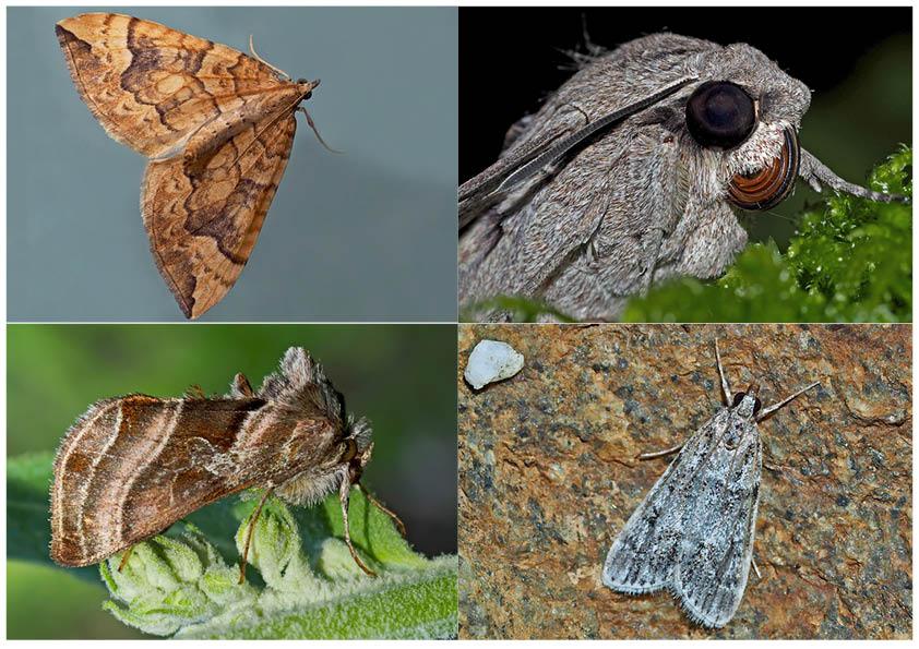Nachtfalter, die uns auch am Tag erfreuen! (25) - Papillons de nuit qui nous réjouissent le jour.