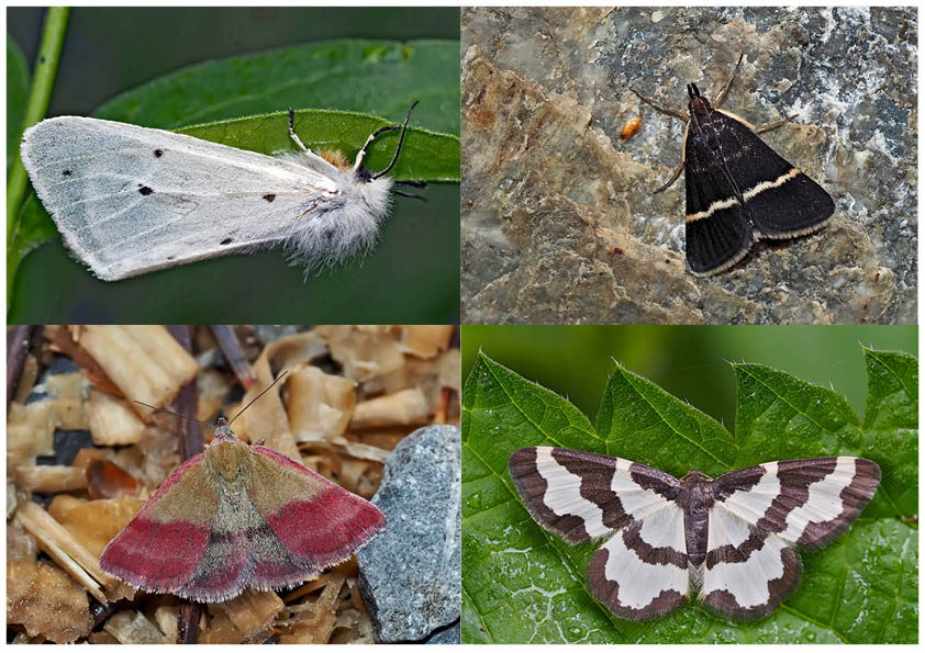 Nachtfalter, die uns auch am Tag erfreuen (26) - Papillons de nuit qui nous réjouissent le jour.